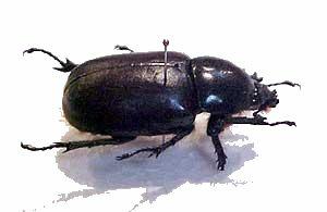 SEO Beetle